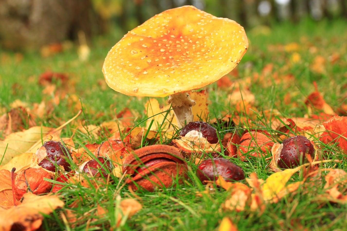 Herbst Pilz und Kastanien